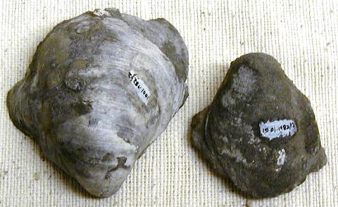 The large oyster, Gryphaea, evolved a broader morphology through the period of Oxford Clay deposition, 